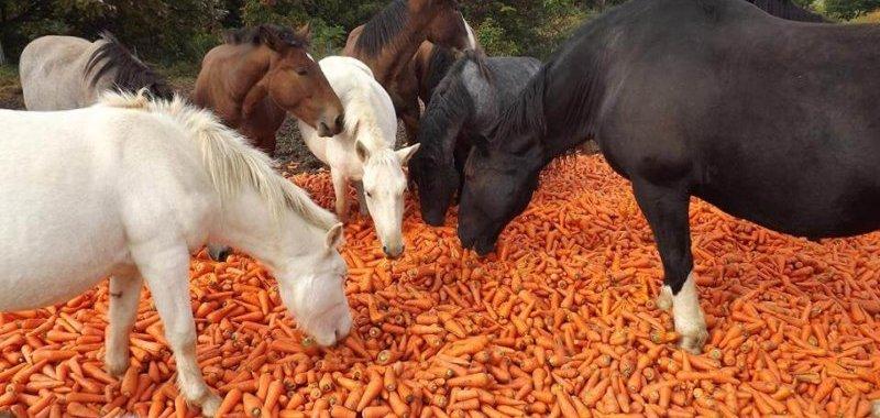 Horses likes carrot