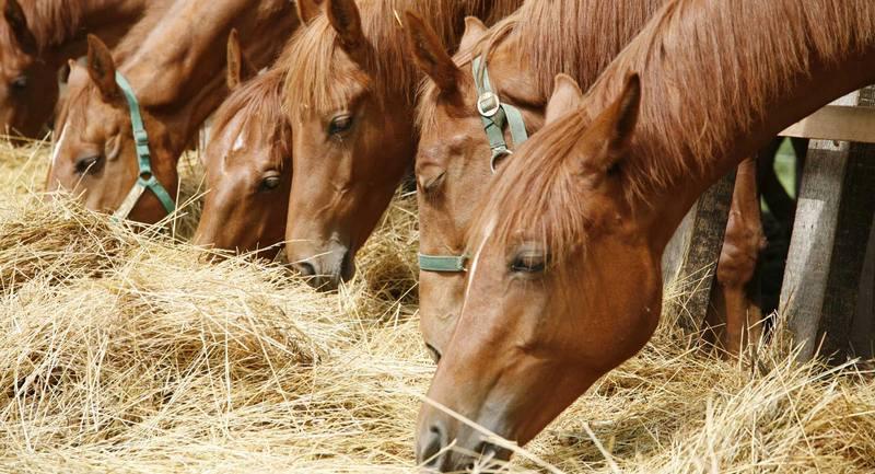 Horses ate forage