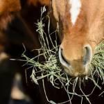 Fecal Microbiota Transfer Beneficial for Horses