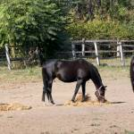 Managing Equine Metabolic Syndrome: New Guidelines